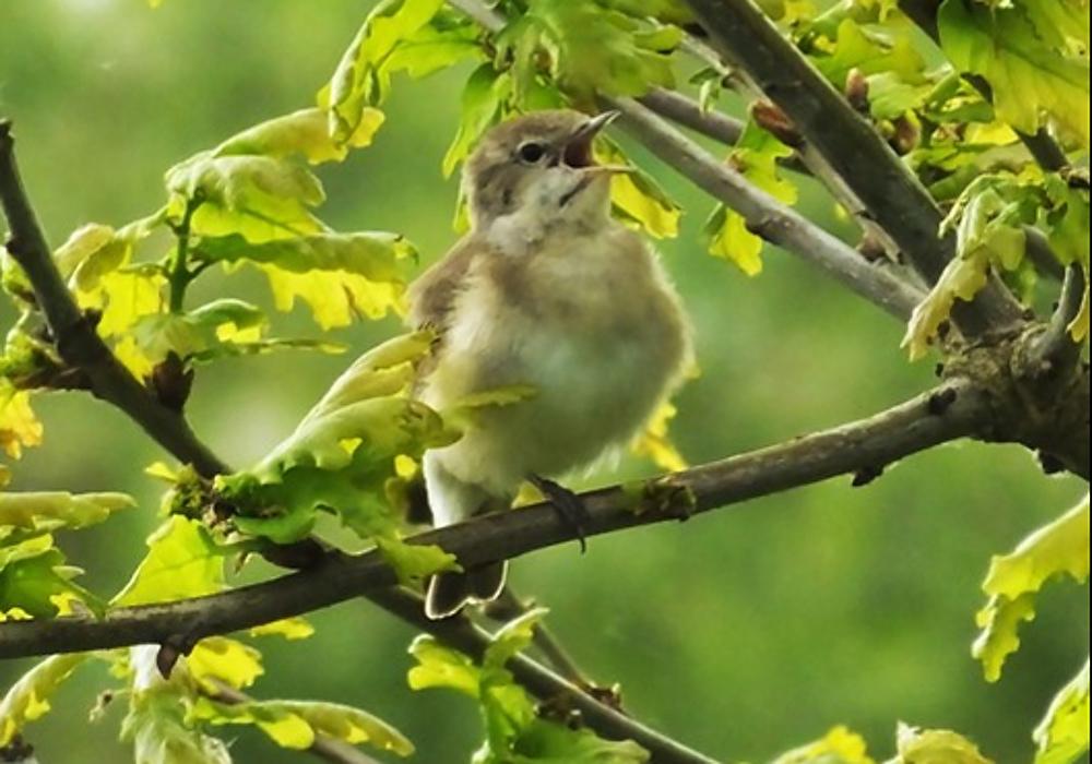 holmethorpe_garden_warbler
